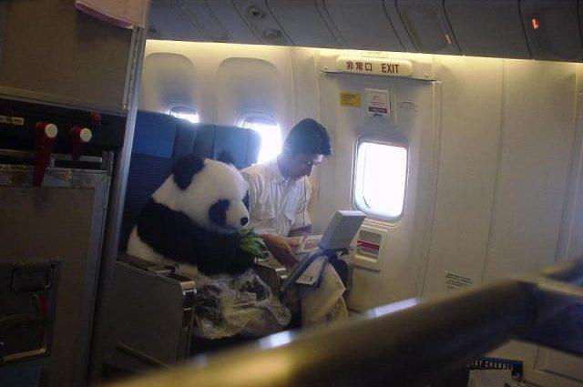 Ursul Panda gigant preferă Business Class
